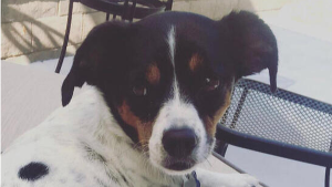 Lost Pet: Abby