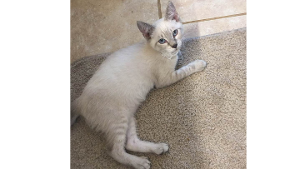 Lost Pet: Oliver  (Queso)